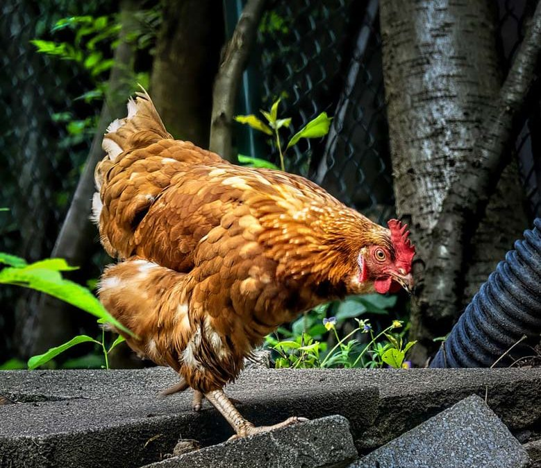 Infos – Grippe aviaire 2020